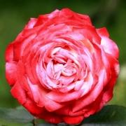 Розы Диссе