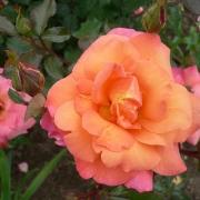 Розы Фрейзингер Моргенрот