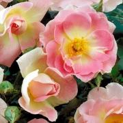 Розы Шато де Багнолс