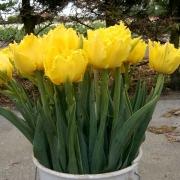 Тюльпаны Криспи Мери