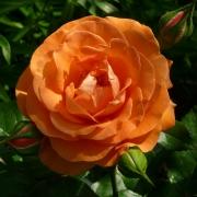 Розы Таттон