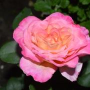 Les roses Georgeus
