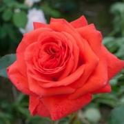 Розы Салита