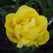 Тюльпаны Экзотик Сан