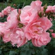 Розы Роузнпрофессор Сиебер
