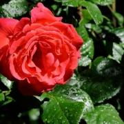 Розы Фокус