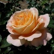 Розы Алпине Сансет