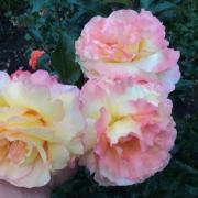 Розы Репаблика Ди Сан Марино