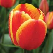 Тюльпаны Ориентал Сплендор