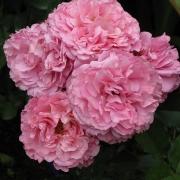 Розы Гейтвэй