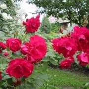 Розы Аделаида Худлесс