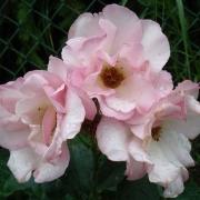 Розы Пьерр Гагнаир
