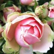 Розы Эден Романтика