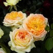 Розы Альфонс Доде