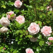 Розы Нью Доун