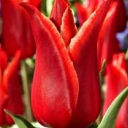 Тюльпаны Лилистар