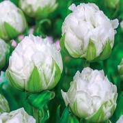 Тюльпаны Бруклин