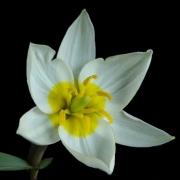 Тюльпаны Полихрома