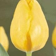 Тюльпаны Трансавиа