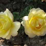 Розы Маунтбаттен