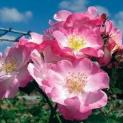 Розы Париж 2000