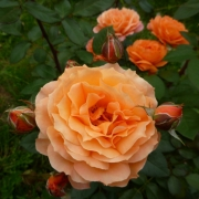 Розы Белведере