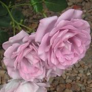 Розы Стерлинг Силвер