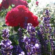 Розы Травемунде
