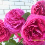 Розы Отелло