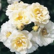 Розы Хайдесоммер