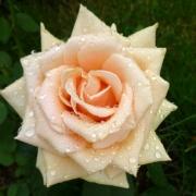 Розы Роял Паркс