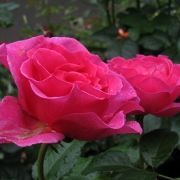Розы Александра Ренессанс