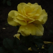 Розы Фрезия