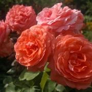 Розы Ди Ди Бриджватер