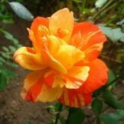 Розы Марвелл