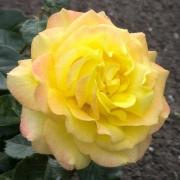 Розы Пер Гюнт