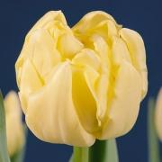 Тюльпаны Левенхрост