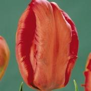 Тюльпаны Феникс Мемори