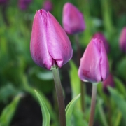 Тюльпаны Негрита