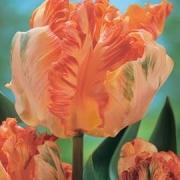 Тюльпаны Эприкот Пэррот
