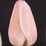 Тюльпаны Дамианн