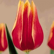 Тюльпаны Рино