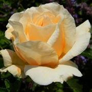 Розы Адриана