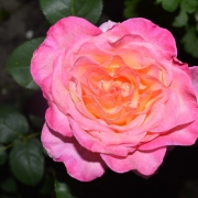 Roses Georgeus
