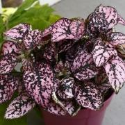 Комнатные растения Гипоэстес