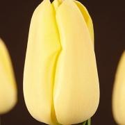 Тюльпаны Нагано