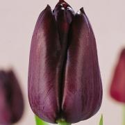 Тюльпаны Блэк Хорс