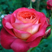 Розы Доктор Массад