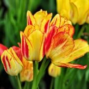 Тюльпаны Саншайн Клаб