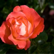 Розы Вуду